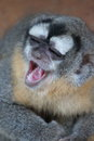 Laughing monkey in the peruvian amazon Stock Images