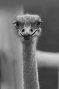 Laughing ostrich stock photo of Royalty Free Stock Images
