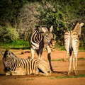 Laughing zebra namibian away in the dust Stock Image