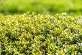 Laurel bush leaves frais Images stock
