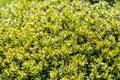 Laurel bush leaves frais Photographie stock libre de droits