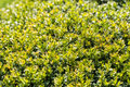 Laurel bush leaves fresco Fotografia Stock Libera da Diritti