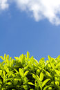 Laurel hedgerow on a sunny day with blue sky the background Stock Image
