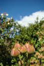 Laurel leaf cistus or leaved rock rose laurifolius in pyrenees Stock Photo
