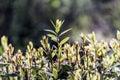 Laurel plant sunbathing green leaves Royalty Free Stock Photos