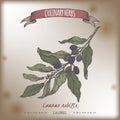 Laurus nobilis aka bay laurel vector color sketch. Culinary herbs collection.