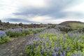 Lava Fields, Lupins, Iceland