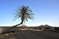 Lava landscape with single palm tree on spanish island lanzarote Royalty Free Stock Photo