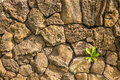 Lava wall a vintage with one green shoot growing out of the Royalty Free Stock Photography