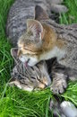 Lavage de chats Images libres de droits