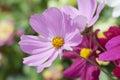 Lavanda e violet daisies basking al sole Fotografie Stock Libere da Diritti