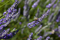 Lavander detail of a lavender field with a bee Royalty Free Stock Photo