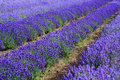 Lavander Field Royalty Free Stock Images