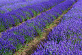 Lavander fields Stock Photo
