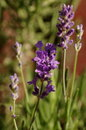 Lavander lavender flowers with shallow depth of field Stock Photos