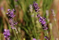 Lavander lavender flowers with shallow depth of field Stock Photo