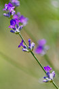 Lavander stems on green background Royalty Free Stock Images