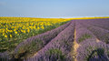 Lavander and sunflower in provence