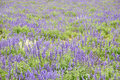 Lavandula flower field Royalty Free Stock Photo