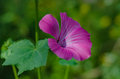 Lavatera trimestris flower garden Royalty Free Stock Photo