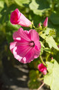 Lavatera trimestris. Pink flower in the garden. Royalty Free Stock Photo