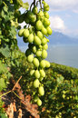 Lavaux region against geneva lake switzerland vineyards in Stock Photo