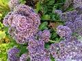 Lavendar wildflowers Imagen de archivo libre de regalías