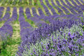 Lavender background field in provence france Stock Photo