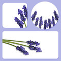 Lavender background templates Stock Photography