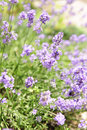 Lavender blooming in a garden Royalty Free Stock Image