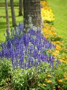 Lavender flowers blooming in the garden Royalty Free Stock Photo