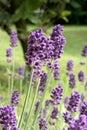 Lavender blossom close view flower