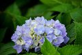 Lavender and blue hydrangea closeup of a blossom this variety is called a mop head Stock Photo