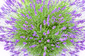Lavender buch Royalty Free Stock Photo