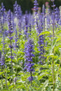 lavender bushes closeup Royalty Free Stock Photo