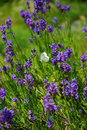 Lavender with butterfly Royalty Free Stock Photo