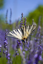 Lavender and butterfly scarce swallowtail iphiclides podalirius on flowers Royalty Free Stock Images