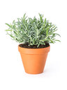 Lavender in a clay pot on white background Stock Image