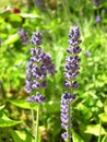 Lavender close up Royalty Free Stock Images