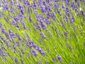 Lavender close up of field in provence france Stock Image