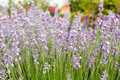 Lavender close up in summer with shallow focus Royalty Free Stock Photos