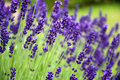 Lavender closeup of beautiful fragrant blossoms Stock Photos