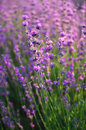 Lavender closeup Royalty Free Stock Photo