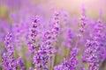 Lavender closeup nature. Royalty Free Stock Photo