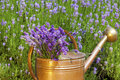 Lavender in a copper watering can freshly harvested is an old front of field summer Royalty Free Stock Images