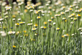 Lavender Cotton - Cotton-Lavender - Santolina chamaecyparissus Royalty Free Stock Photo