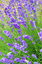 Lavender farm. Royalty Free Stock Photography