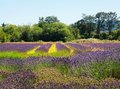Lavender farm Royalty Free Stock Photography