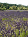 Lavender farm in bloom a large field of at a on san juan island washington Stock Photos