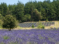 Lavender farm in bloom a large field of at a on san juan island washington Royalty Free Stock Images